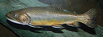 A photograph of {{MultiLink|Brook Trout}} ({{B...
