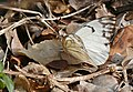 Brown-veined White (Belenois aurota) (31539530364).jpg