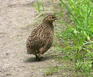 The Brown Quail (Coturnix ypsilophorus), Tirit...