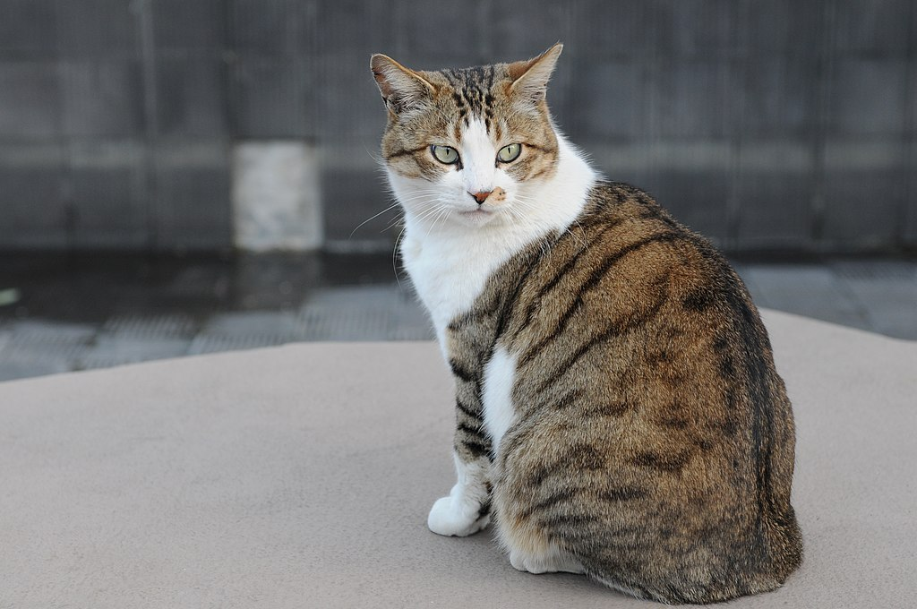 Tabby Cat With White Socks And Neck