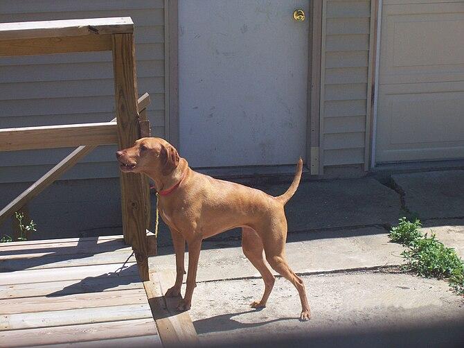 English: Brown dog barking