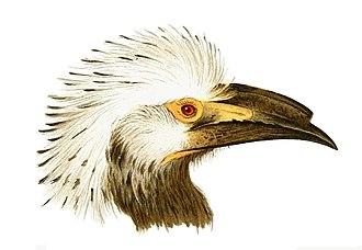 White-crested hornbill - Image: Bucerotidae 3 Wytsman, Tropicranus albocristatus macrourus