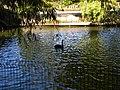 Bucuresti, Romania, Parcul Herastrau (Imagine de pe lacul Herastrau cu lebada neagra); B-II-a-A-18802.JPG