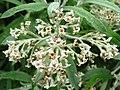 Budd. loricata flowers.jpg