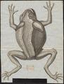Bufo agua - 1700-1880 - Print - Iconographia Zoologica - Special Collections University of Amsterdam - UBA01 IZ11500175.tif