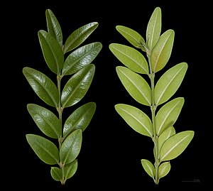 Buxus sempervirens - Image: Buis Feuille