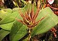 Bulbophyllum medusae x tridentatum ? -香港沙田洋蘭展 Shatin Orchid Show, Hong Kong- (31388380251).jpg