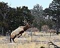 Bull Elk (6863514647).jpg