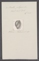 Bulla physis - - Print - Iconographia Zoologica - Special Collections University of Amsterdam - UBAINV0274 091 07 0012.tif