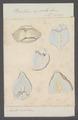 Bullaea aperta - - Print - Iconographia Zoologica - Special Collections University of Amsterdam - UBAINV0274 081 05 0005.tif