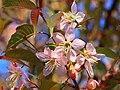 Bunkyou Koishikawa Botanical Prunus Cerasoides 1.jpg