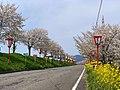 Bunsui Sakura 004 April2020.jpg