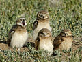 Burrowing owls in summer.jpg