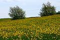 Buttercups (2531960080).jpg