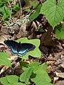 Butterfly at Douthat (7414954338) (2).jpg