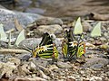 Butterfly mud-puddling at Kottiyoor Wildlife Sanctuary (9).jpg