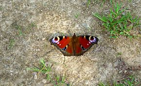 Butterfly on path (close-up).jpg