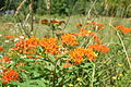 Butterfly weed (Asclepias tuberosa) 02.JPG