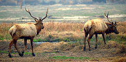 Buttonwillow Tupman Tule Elk Reserve California ungulate guests.JPG