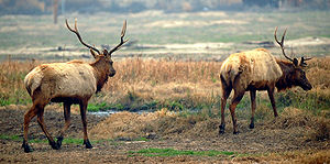 Buttonwillow, California - Tule Elk at the state reserve
