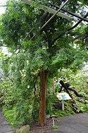 CBN Podocarpus gaussenii 2015-07-13 Triton.jpg