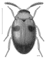 COLE Leiodidae 2.png