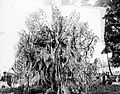COLLECTIE TROPENMUSEUM Reuzenorchidee in 's-Lands Plantentuin in Buitenzorg TMnr 10006174.jpg