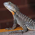 CSIRO ScienceImage 3356 Water Dragon.jpg