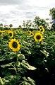 CSIRO ScienceImage 4438 Sunflower crop.jpg