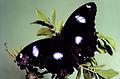 CSIRO ScienceImage 999 Hypolimnus bolina Nymphalidae.jpg