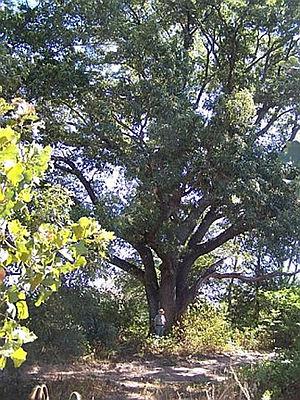 Caddo National Grassland - The largest red oak in Caddo National Grassland