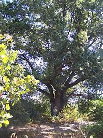 Caddo National Grassland - The largest red oak in Caddo National Grassland