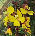 Caesalpinia mimosoides 20.JPG