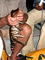 Caiman crocodilus kaw.jpg