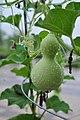 Calabash (Lagenaria siceraria) in Seoul 2.jpg