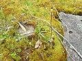 Caladenia exstans 01.jpg