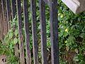 Calceolaria tripartita (6367405145).jpg