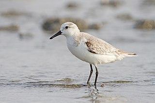 Sanderling species of bird