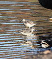 Calidris canutus pair - Christopher Watson.jpg