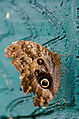 Caligo Butterfly (6917387679).jpg