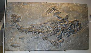 Callibrachion - Fossil