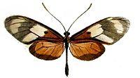 Callithomia lenea agrippina.JPG