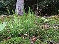 Calluna vulgaris sl29.jpg