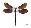 Calopteryx virgo meridionalis MHNT.jpg