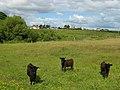 Calves beside Abhainn Lacasdal - geograph.org.uk - 493833.jpg