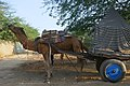 Camel Safari à Pushkar (Rajasthan) (1).jpg