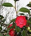 Camellia Blossom 3 - geograph.org.uk - 347687.jpg