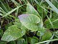 Campanula rapunculoides (4996751095).jpg
