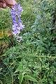 Campanula sp. Campanulaceae 04.jpg