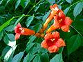 Campsis radicans - Trumpet Creeper.jpg
